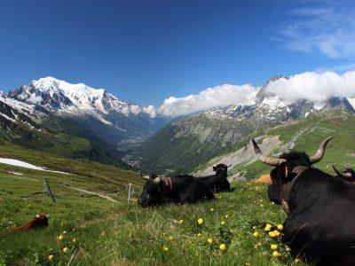 Haute Savoie - Vaches